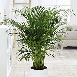 Areca palm helps allergy sufferers,