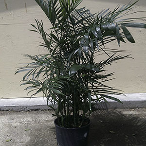 Bamboo Palm purifies indoor air.