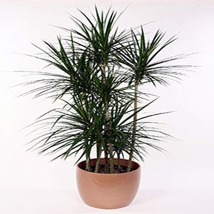 Dracaena is an air purifying plant.