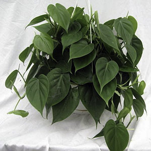 Philodendron cleans indoor air.
